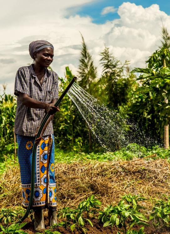 Shamba Maisha participant watering crops